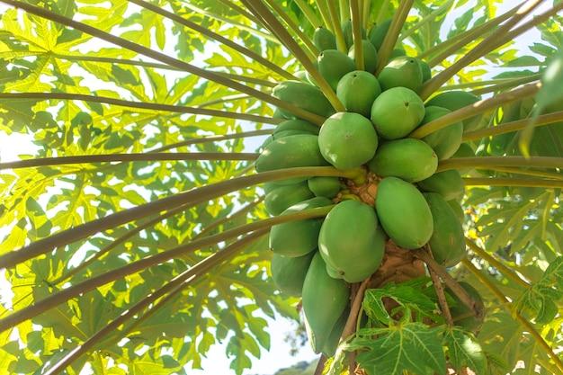 Зеленые естественные сырцовые тропические заводы папапайи растут, висят на дереве в азии, вьетнаме или таиланде. свежий летний спелый букет фруктов. плантация папайи в саду. сельское хозяйство фрукты в органической ферме. сбор урожая