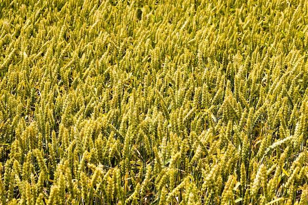 농장에서 미숙 한 곡물의 녹색 천연 작은 이삭, 곡물에서 자연 식품을위한 작물