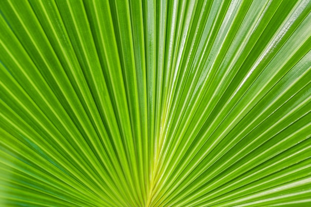 Green nature background, texture big leaf of a tropical palm