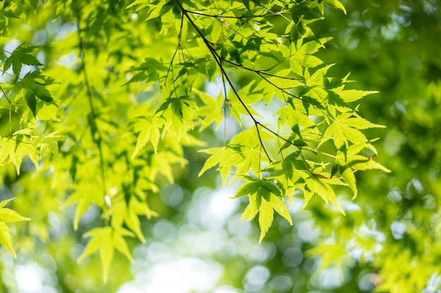 Green nature background with maple leaves in japan.