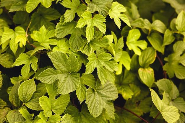 緑の自然の花の背景。ブドウやツタの葉のテクスチャ。クローズアップショット