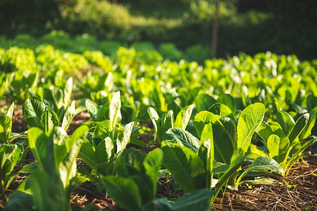 Green nature vegetable farm, organic raw food agriculture concept for good health lifestyle, organic salad plant crop on field, healthy clean food