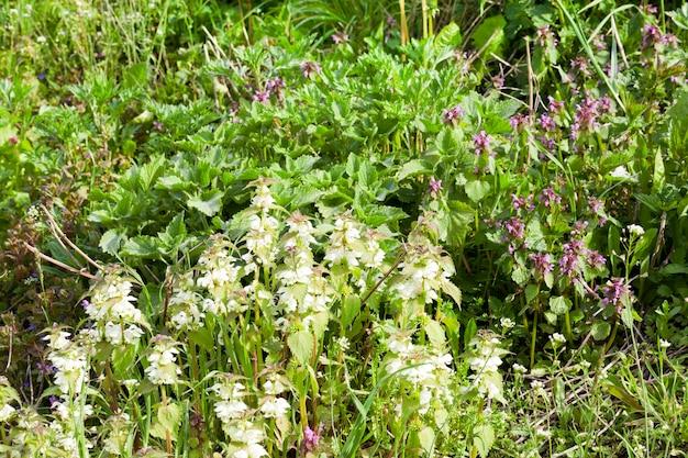 Зеленая крапива во время цветения с белыми соцветиями