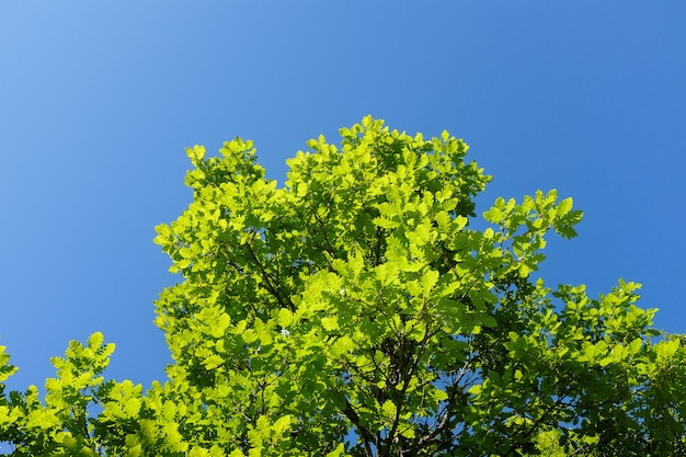 Green oak leaves against the blue sky with clouds