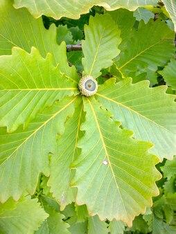 Зеленые дубовые листья и желуди. весной это дальний восток. россия.
