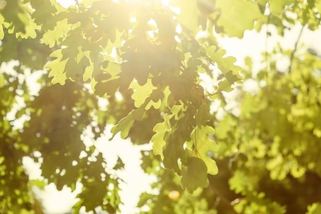 Green oak leaves blur background, bright sun