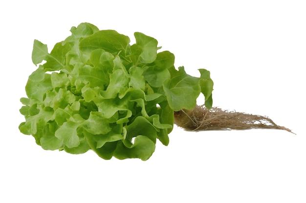 Салат зеленый дуб на белом фоне