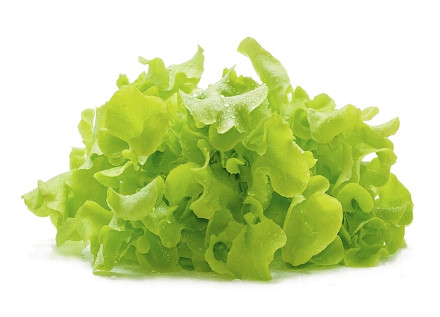 Green oak lettuce with water drops on white background.