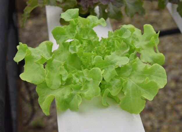 Green oak lettuce.