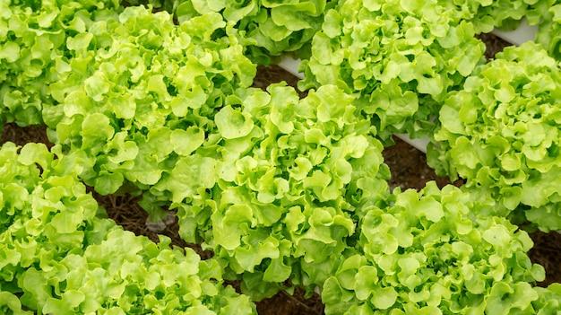 Green oak plant in a hydroponic vegetable garden.