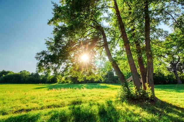 Зеленый дуб с солнцем в ветвях с листвой