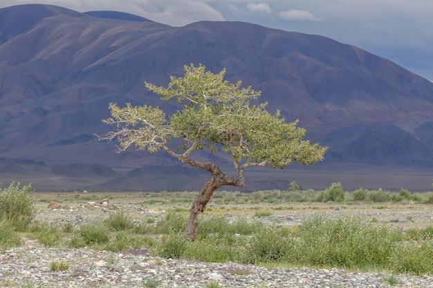 Green oasis on rocky soil of altai mountains mongolia