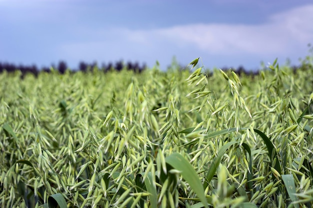 Green oats in a field on a sunny summer day