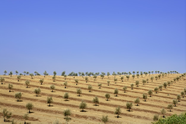 Green olive field in a summer sunny day