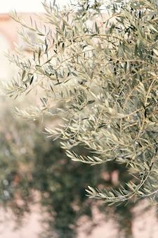 올리브 과수원 근접 촬영에서 성장하는 녹색 올리브 나무