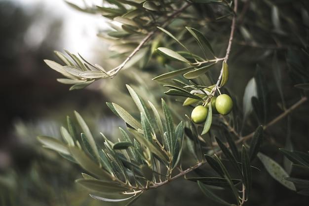 모로코에서 녹색 올리브 나무