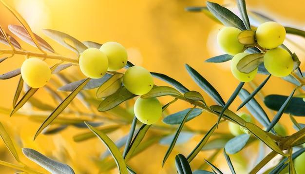 Зеленые оливки, растущие на оливковом дереве на фоне заходящего солнца. сырые здоровые оливковые плоды на ветвях деревьев