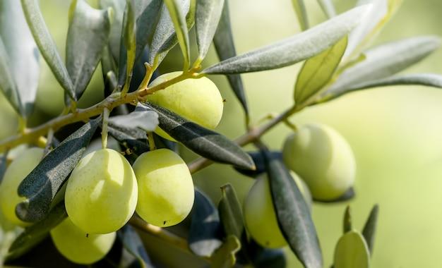 Зеленые оливки, растущие на оливковом дереве. сырые здоровые оливковые плоды на ветке дерева. греческие оливки.