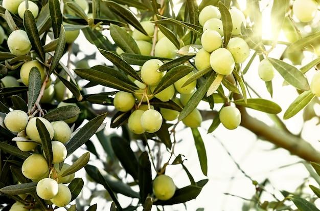 Зеленые оливки, растущие на оливковом дереве. сырые здоровые оливковые плоды на ветвях деревьев.