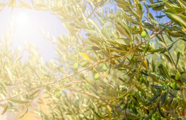 Зеленые оливки на дереве в селективном фокусе солнечного света