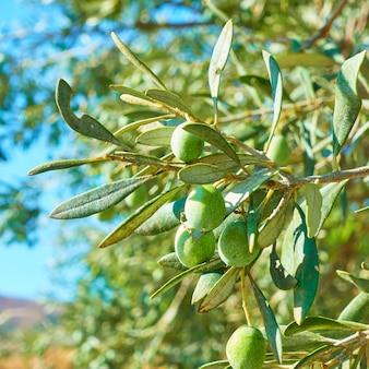 Зеленые оливки на оливковом дереве крупным планом