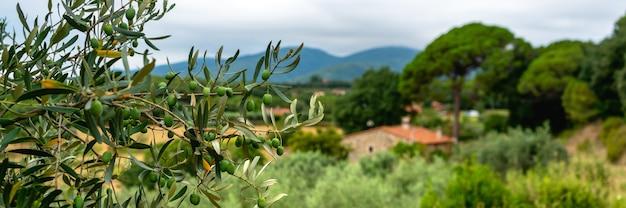 배경 집과 산에 녹색 올리브 나무