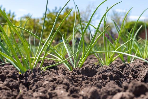 ネギ(リーキ)の苗を植えます。庭の若いネギの列。
