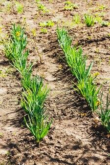 정원에서 어린 봄 양파의 행을 심는 파 흰 부추 모종