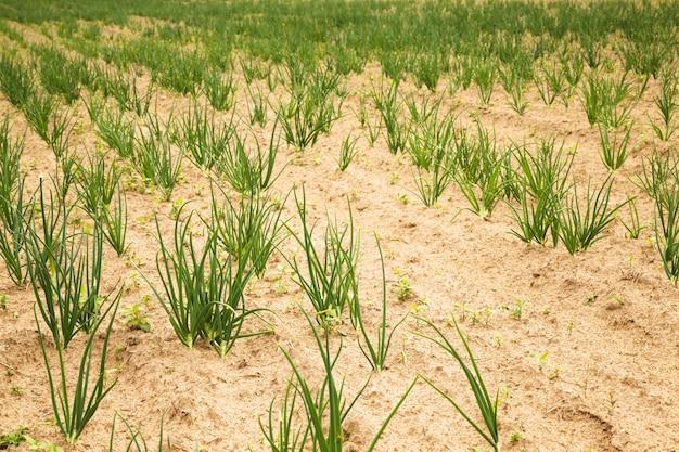 Green onions in field