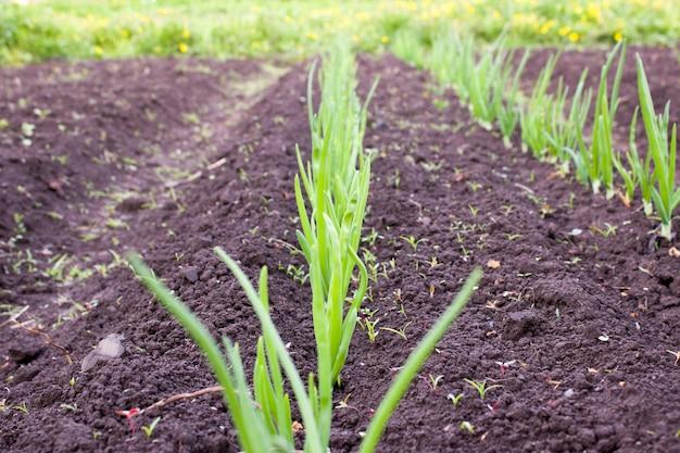 ネギが一列に植えられています。