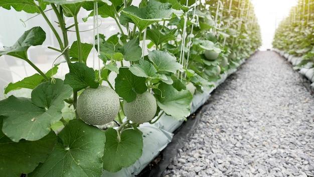 Green organic cantaloupe melon growing in greenhouse farm.
