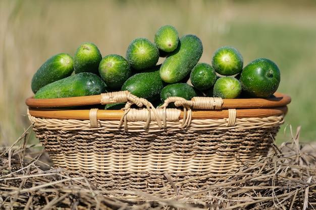 신선한 건초 위에 서 있는 노란색 고리버들 바구니에 있는 녹색 유기농 오이는 농장에서 야채를 골랐습니다