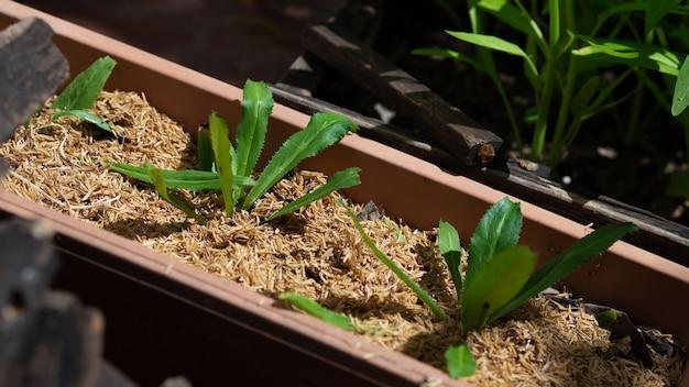 緑の有機ポット植物オリエンタルアジアのハーブ。化学物質を含まない野菜