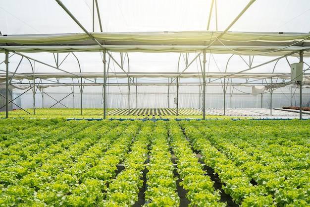 温度制御された屋内野菜農場のグリーンオーガニックサラダ野菜。