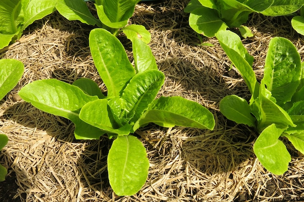 Green organic vegetable on the ground with abundant soil in the vegetable farm