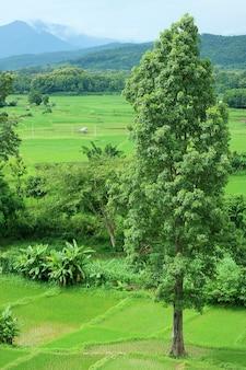 Зеленое рисовое поле в сезон дождей в провинции нан, таиланд