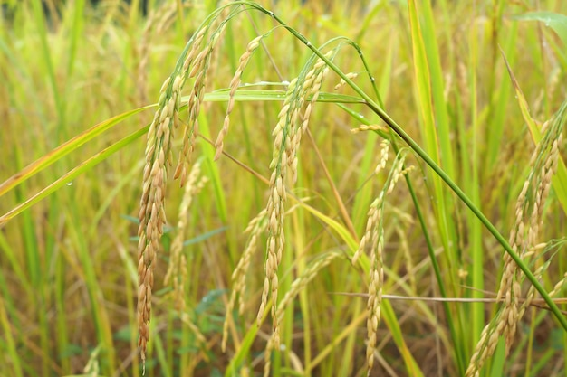 Green paddy rice background. ear of paddy