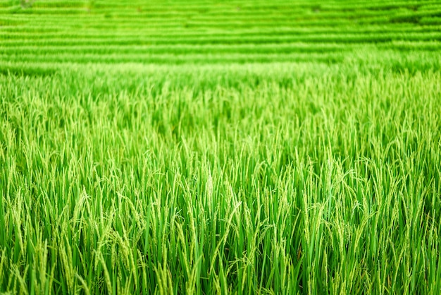 Green paddy rice field at sunrise