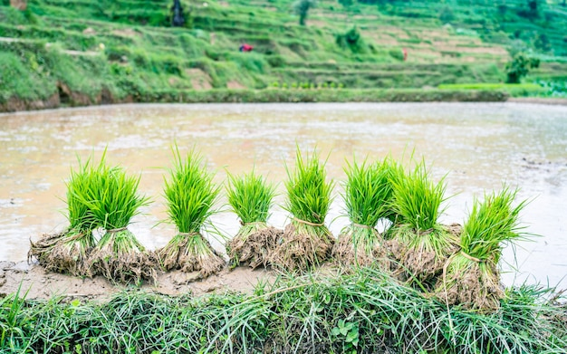 카트만두 네팔에서 논을 심기 위한 녹색 논 씨앗