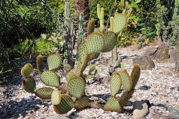 Зеленые подушечки на опунции кактуса.