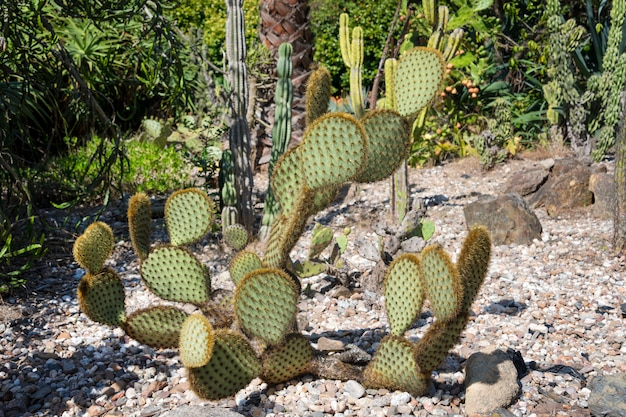Green pads on a prickly pear cactus.