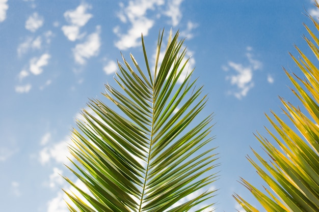Green palm branche in blue skys, fresh exotic tree foliage, paradise beach, summer vacation and holiday concept