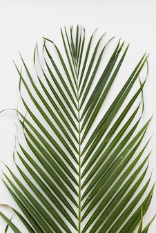 Green palm leaf from above
