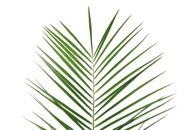 白で隔離される緑のヤシの葉