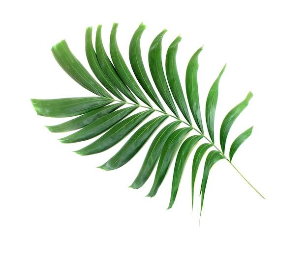 Зеленый пальмовый лист изолированные