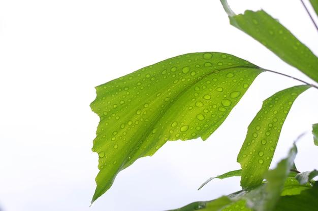緑のヤシの葉は白い背景に。