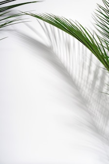 Green palm leaves and their shadow on a white wall