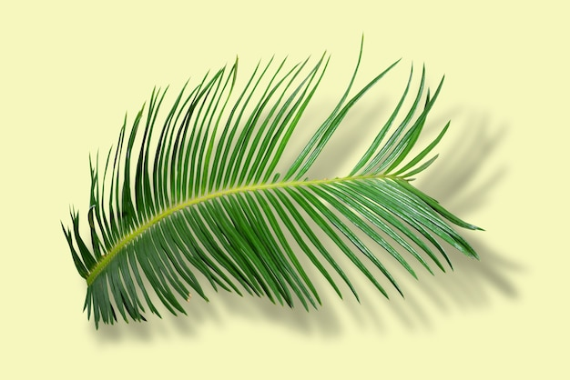 Green palm leaves in tropical forest isolated on yellow background with shadow