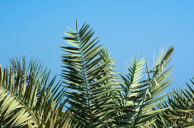 青い空の背景に緑のヤシの木