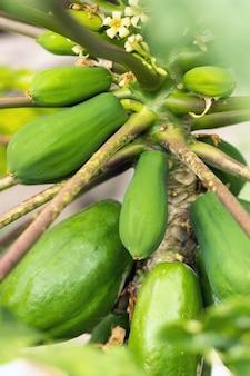 Зеленые плоды папайи, висящие на дереве. плантация папайи. папайя на канарских островах. тенерифе.